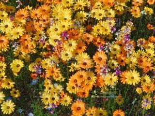 お花畑の写真・画像素材[105116]