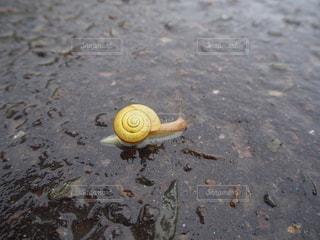 雨の日のお散歩かたつむり。の写真・画像素材[2712083]