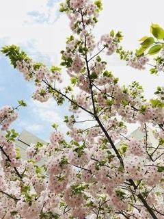 桜と空の写真・画像素材[2715476]