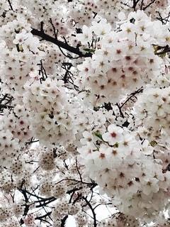満開の桜の写真・画像素材[2715556]