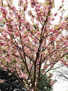 満開の桜の写真・画像素材[2715578]