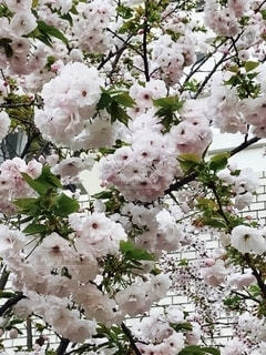 桜の花の写真・画像素材[2715580]