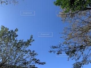 澄んだ青空の木の写真・画像素材[2716809]