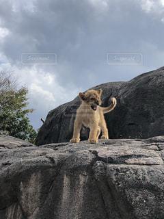 まさにライオンキング!の写真・画像素材[2714509]