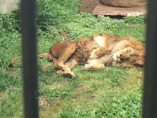草の上に横たわっているライオンの写真・画像素材[2735995]