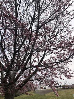 桜開花直前の写真・画像素材[4368900]