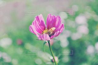秋桜と蜜蜂。の写真・画像素材[2724300]