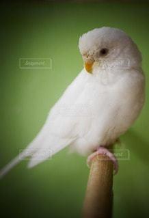 鳥,羽,セキセイインコ,インコ,小鳥,グリーン背景,白い鳥