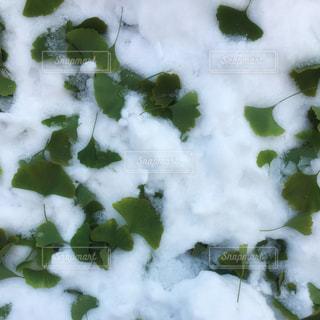 雪の上のイチョウの葉っぱの写真・画像素材[253875]