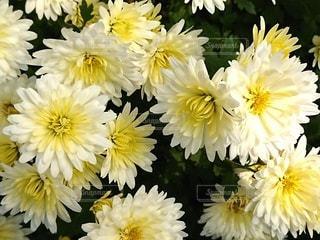 菊の花の写真・画像素材[2729493]