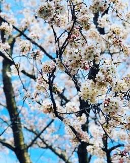 桜の写真・画像素材[2730381]