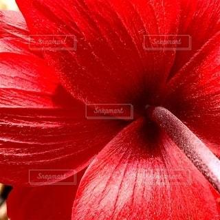 赤い花の写真・画像素材[2730691]