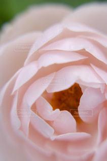バラをクローズアップするの写真・画像素材[2872322]