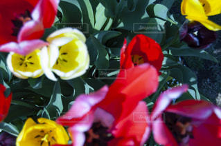 赤と黄色の花の写真・画像素材[2872369]