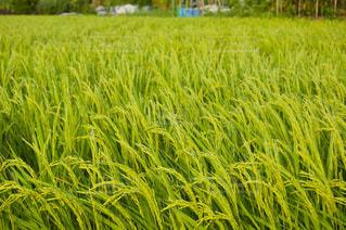 背の高い草の畑の写真・画像素材[2872467]