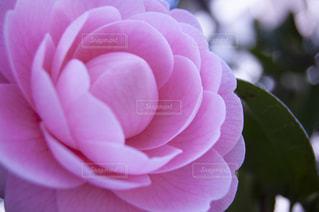 花をクローズアップするの写真・画像素材[2872522]