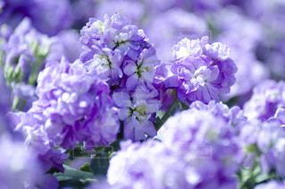 紫色の花のクローズアップの写真・画像素材[3118990]