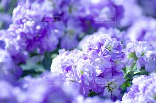 紫色の花のクローズアップの写真・画像素材[3118992]