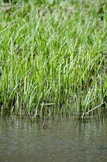 水の体の隣の草の中に立っている鳥の写真・画像素材[3119288]