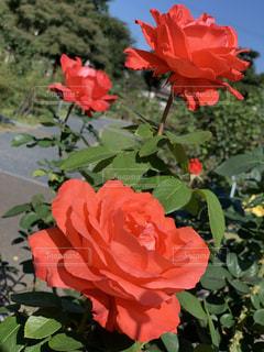 花に赤いバラの写真・画像素材[2730769]