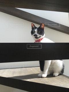 猫の写真・画像素材[112399]