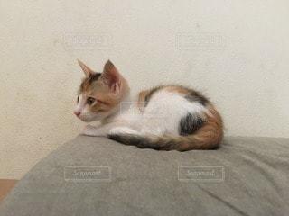 猫の写真・画像素材[112594]