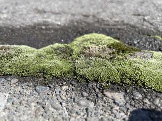 北海道の雪に埋もれて出てきた苔の写真・画像素材[4298569]