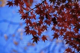 青空と紅葉の写真・画像素材[2738404]