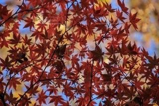 紅葉を見上げて...の写真・画像素材[2738405]