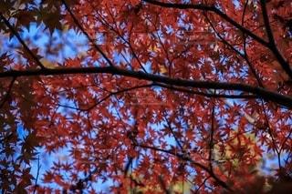紅葉の写真・画像素材[2738406]