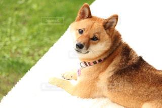 柴犬 - No.849538