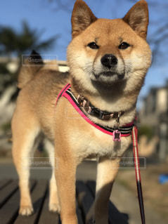 凛々しい柴犬 - No.849539