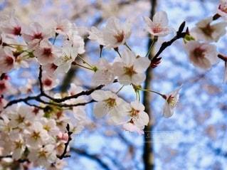 木の枝にピンクの花のグループの写真・画像素材[2741278]