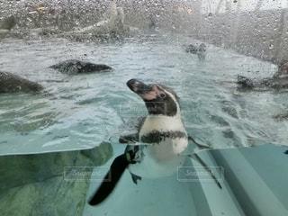 人懐っこいペンギンの写真・画像素材[2748673]