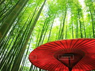 和傘と竹林の写真・画像素材[2771530]