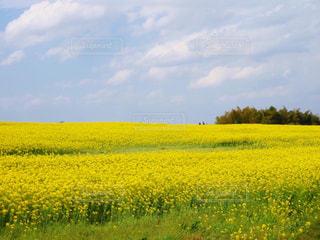 あたり一面の菜の花の写真・画像素材[2806327]