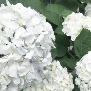 白の紫陽花の写真・画像素材[3286049]