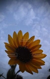 夕方のひまわりのアップの写真・画像素材[2742612]