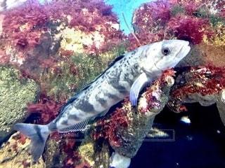 魚の写真・画像素材[2755827]