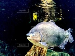 淡水魚の写真・画像素材[2759209]