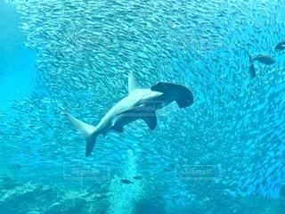 シュモクザメの写真・画像素材[2759373]