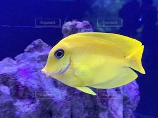 黄色の魚の写真・画像素材[2764402]
