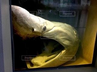 ウバザメの写真・画像素材[2769827]