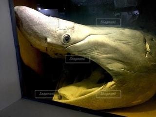 ウバザメの写真・画像素材[2769828]