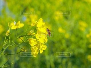 菜の花とミツバチ🐝の写真・画像素材[3006578]