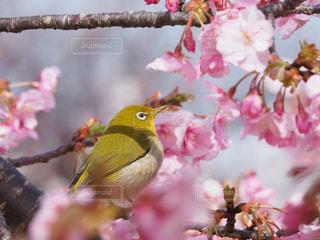桜とメジロの写真・画像素材[3006604]