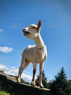 山羊の写真・画像素材[2808427]