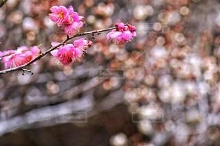 梅の花の玉ボケの写真・画像素材[2969638]
