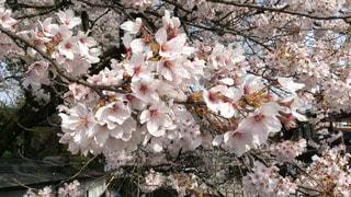 春の写真・画像素材[108134]