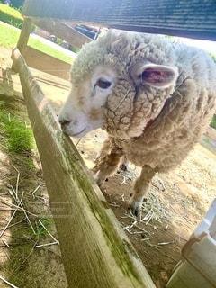 羊の横顔の写真・画像素材[2746891]